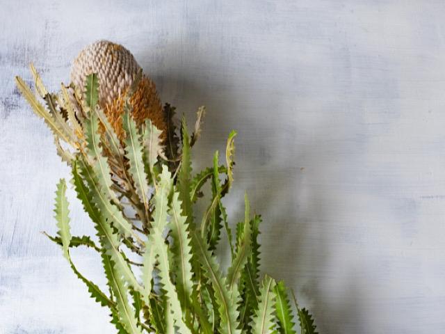 8月におすすめの切り花バンクシアの画像