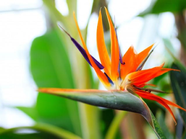 8月におすすめの切り花ストレリチアの画像